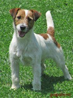 Jack Russell Terrier | altura 31 5 cm pelo broken dentadura completa mordida en