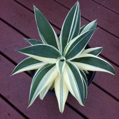 Agave Attenuata, Euphorbia Milii, Outdoor Patios, Water Wise, Agaves, Desert Plants, Interior Plants, Desert Rose, Crests