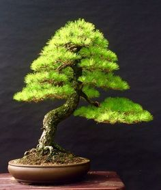 Growing bonsai from their seeds is essentially growing a tree from its seed. Get tips and guidelines on how to grow your first bonsai from its seed phase. Bonsai Trees For Sale, Bonsai Tree Care, Bonsai Tree Types, Indoor Bonsai Tree, Terrarium Plants, Bonsai Plants, Bonsai Garden, Ikebana, Juniper Bonsai