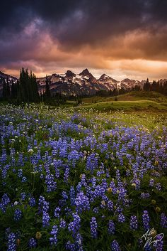 Wild Flowers Inspiration : Wildflowers at sunset, Mount Rainier National Park, Washington - Flowers.tn - Leading Flowers Magazine, Daily Beautiful flowers for all occasions Wild Flower Meadow, Wild Flowers, Alex Noriega, Beautiful World, Beautiful Places, Beautiful Flowers, Landscape Photography, Nature Photography, Mount Rainier National Park