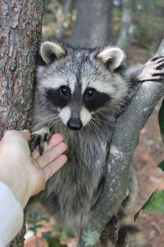 Like Animals, Nature Animals, Animals And Pets, Funny Animals, Funny Raccoons, Funny Pets, Beautiful Creatures, Animals Beautiful, Cute Rats