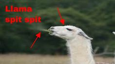 Today, I am spitting at animals. But, I am not a human today. I am a Llama. If you do not know what a Llama is, it is like an alpaca but a little less like a. Funny Llama, Funny Animals, Funny Animal, Hilarious Animals, Funny Animal Comics, Humorous Animals, Funny Animal Pictures