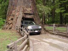 redwood forest tree
