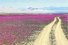 chile desierto florido - Buscar con Google