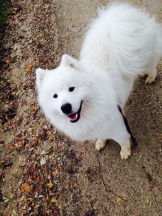 Gorgeous Samoyed