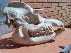 Animal Skeletons, Animal Skulls, Skull Reference, Pose Reference, Skeleton Bones, Skull And Bones, Human Skeleton Anatomy, Animal Anatomy, Animal Bones