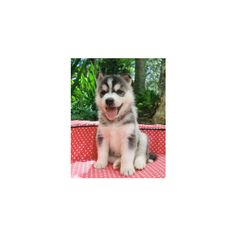 Top 10 cutest Husky puppies! ❤ liked on Polyvore featuring animals, pets, dog, husky and random