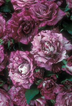Echoing Shards • Unusual Roses