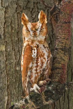 skyvvard:  Eastern Screech-Owl ( Red Phase ) || by Daniel Cadieux