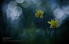 Nature : Wild daffodil / Narcissus pseudonarcissus - PauleKlein. #Pinterest #photo #photography #landscape #people #girl #girls #hot #naked #cute #food #sport #travel #dress #fashion