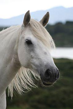 Adbear Belle, a Connemara pony by © Susanne Leijonhufvud, via www.connemara-pony-ig.eu