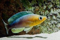 Cyprichromis leptosoma Kigoma