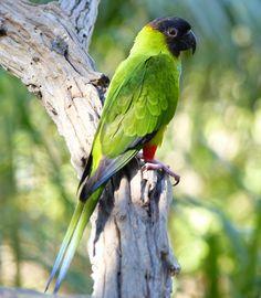 Nanday Parakeet (Nandayus nenday) photographed by Bernard DuPont in Pousada Rio Claro, Transpantaneira, Poconé, Mato Grosso, Brazil Colorful Parrots, Colorful Birds, Exotic Birds, Cockatiel, Budgies, Nanday Conure, Kakapo Parrot, Parrot Facts, Bird Barn