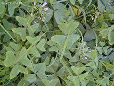 Oxalis - Wood Sorrel - Bush Tucker Plant Foods