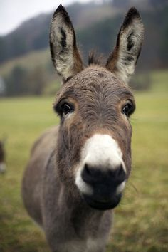 If you wonder what a donkey can eat, you can find all important feeding facts here. Take good care of your donkey with best information. Baby Donkey, Cute Donkey, Mini Donkey, Donkey Funny, Baby Cows, Baby Elephants, Donkey Donkey, Farm Animals, Animals And Pets