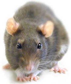 """Ser un rata: Ser tacaño.  Por ejemplo: """"Quique nunca paga los cafés ni invita a nada: es un rata""""."""