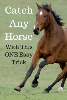 Catch any horse, anywhere, with this one easy trick. Even hard-to-catch horses! … Catch any horse, anywhere, with this one easy trick. Even hard-to-catch horses! Horse Information, Horse Riding Tips, Trail Riding, Horse Care Tips, Horse Facts, Horse Training, Training Tips, Horse Love, Show Horses