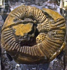 Discovered in the Mansalay town in Southern Mindoro, this fossil shell of an ammonite dates back to 160-175 million years ago or during the age of the dinosaurs.