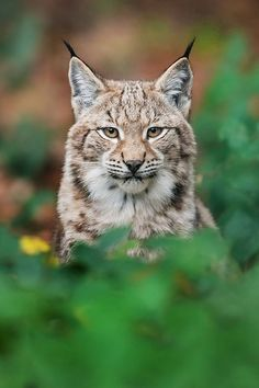 Lynx; How Nonchalant.