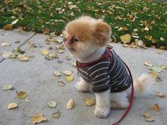 Http://k11.kn3.net/taringa/7/4/4/8/9/2/8/soofy22/0EB.bmp. BOO para muchos el perro mas lindo del mundo, este perrito ya cuenta con mas de 1.000.000 de fans en facebook. Tiene un aspecto muy adorable parecido a un oso de peluche!! no se si es el mas...