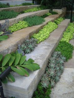 stonecrop on stone steps - Austin, Texas Sedum alba, S. acre and chartreuse Sedum 'Ogon'.