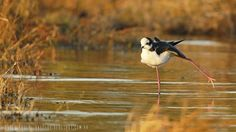 mis fotos de aves: Himantopus mexicanus Tero real Black-necked stilt