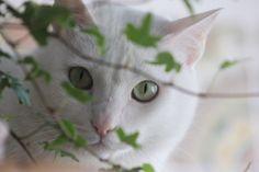 My friend Bunny. Meu amigo Coelhinho. #cat #whitecat #catlovers #lechatblanc #littleangel #greeneyes