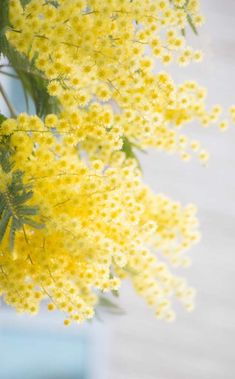 Mimosa is a beautiful tree with yellow flowers that bloom in winter. Planting, pruning, and caring for mimosa tree in the ground and pots for massive gold. Tree With Yellow Flowers, Yellow Flower Photos, Yellow Tree, Mimosa Plant, Le Mimosa, Flowers Nature, Beautiful Flowers, Sacred Garden, Gift Ideas