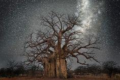 World's oldest trees illuminated by starlight