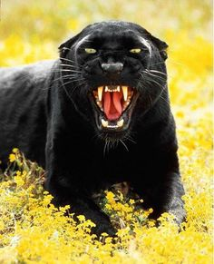 Panther lying down & roaring