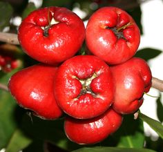 The health benefits of rose apple fruits (Makopa) come from its nutritional contents: protein, fiber, vitamin C, iron and calcium. It contains no saturated fats and sugar. Rose apples have insignificant amounts of cholesterol and sodium, as well.  Found in the rose apple's roots and barks is the alkaloid called jambosine. The health benefits of rose apple fruits to diabetics is attributed to this compound. It help lower ones blood sugar level.