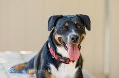 Brandi Lynn is an adoptable Entlebucher Dog in Dallas, TX. Hi guys, I'm Brandi Lynn! I was rescued by the people at Paws after my mom and dad decided they couldn't care for me anymore. I am looking fo...