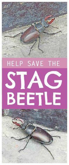 Stag beetle - simple