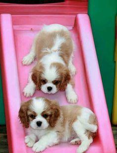 U Tube Beagle Dog Show