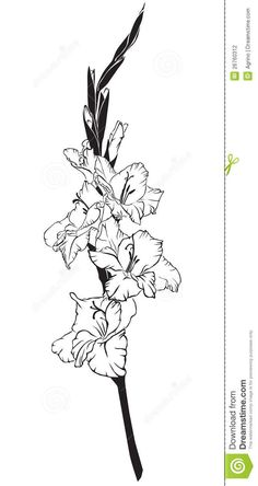 Gladiolus Drawing gladiolus stock photography - image: 26760312