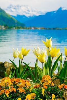 Yellow and White Tulips of Switzerland, Lake Geneva, Spring time, flowers with the Swiss Alps in the background