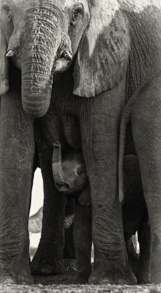 ~~Hiding | Elephant Calf under the protection of his mother | by Morkel Erasmus~~