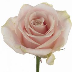 Sweet avalanche rose for the tables
