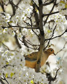 "transylvanialand:  ""Dove in a Cherry Tree"" (Front Street) Traverse City, Michigan by Michigan Nut on Flickr."