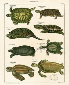 Oken natural history prints 1833  Sea, Land turtles
