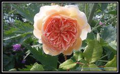 zapach ogrodu: Crown Princess Margareta  to moja kolejna róża ang...
