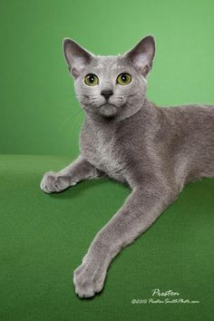 Russian Blue - looks like our little Dasha (Dash), named after the spunky heroine of my Galveston Hurricane Mysteries.