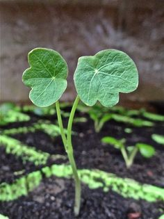 A New Beginning  (Hollyhock Seedling)