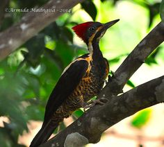 Lineated Woodpecker in flight Woodpeckers, Birds, Animals, Animales, Animaux, Bird, Animal, Animais