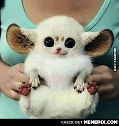 I want one!!!!!  This is an Inari fox. Or a Pokémon, I'm not sure.