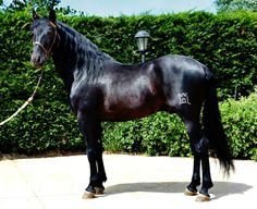 Pura Raza Española stallion Favorito SG.