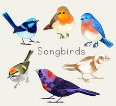 Songbirds Stickers by nat's shop â–?20Hand-cut, matte stickers with white backgroundâ–?20Each sticker is approximately 2-3 inchesâ–?20Printed on durable waterproof vinylFeatured songbirds include the fairy wren, European robin, eastern bluebird, golden-crowned kinglet, society finch, and varied bunting.