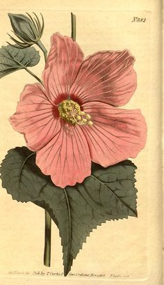 """Marsh Hibiscus"" pink flower ~ botanical illustration, 1806."