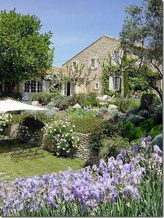 iris and olive tree - shade tree near house.