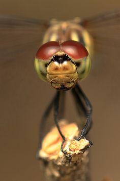 Free Image on Pixabay - Dragonfly, Dragonfly Eyes, Insects Free Pictures, Free Images, Dragonfly Eyes, Dragonflies, Public Domain, Insects, Red, Dragon Flies